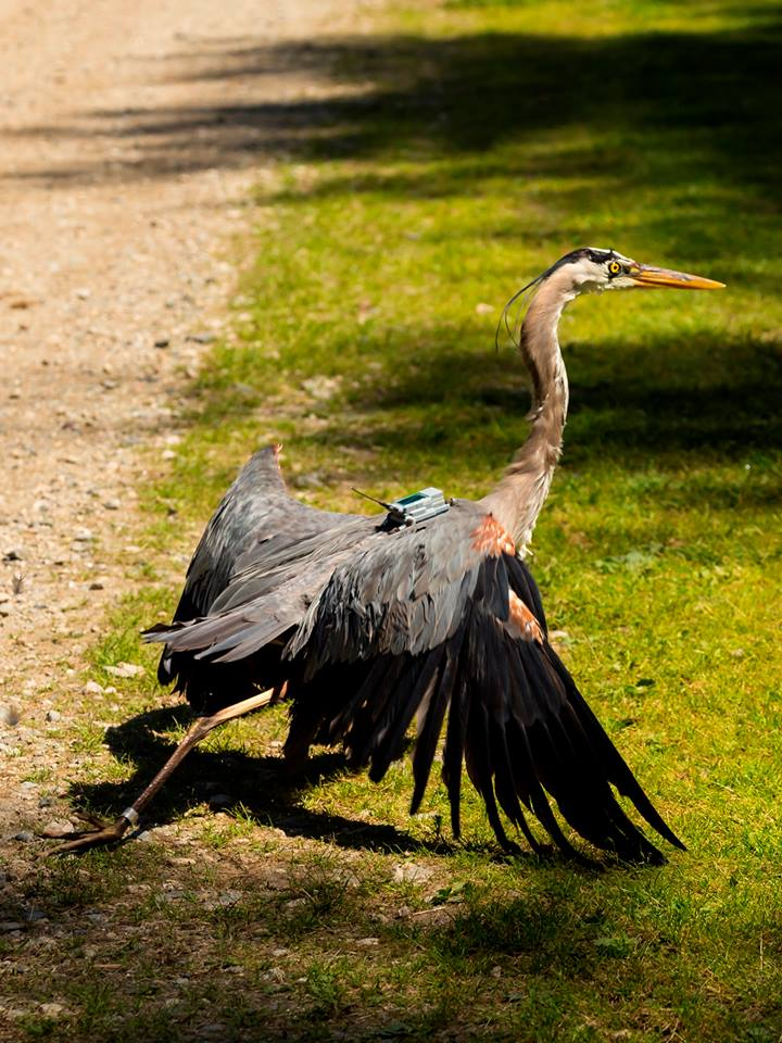 The Maine Department of Inland Fisheries and Wildlife is using solar-powered GPS transmitters to track the migration of great blue herons.