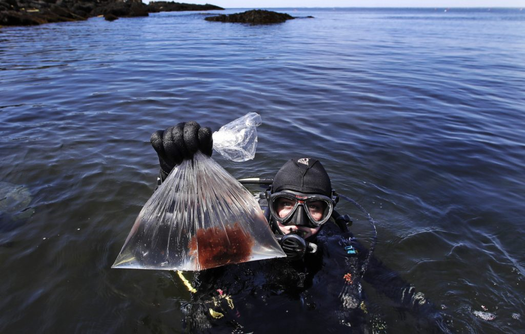 Research technician Kristen Mello hoists a sample of a red shrub-like seaweed collected in the waters off Appledore Island in June 2017. The rapidly warming waters of the Gulf of Maine are becoming inhospitable to kelp, a cold-loving organism living at the southern end of its range.