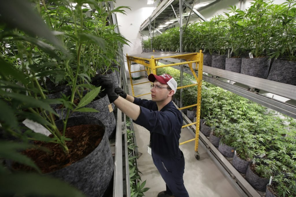 In this July 12, 2018, file photo head grower Mark Vlahos, of Milford, Mass., tends to cannabis plants, at Sira Naturals medical marijuana cultivation facility, in Milford, Mass. The legal marijuana industry exploded in 2018, pushing its way further into the cultural and financial mainstream in the U.S. and beyond.