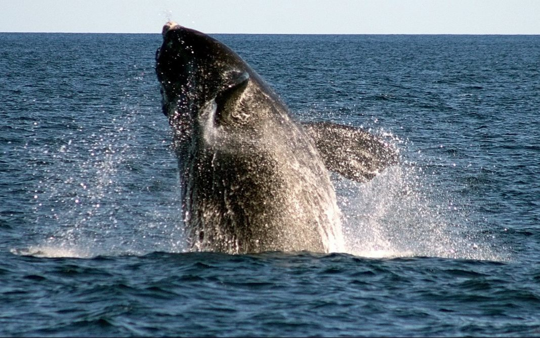 Government asks mariners to avoid group of 100 endangered whales
