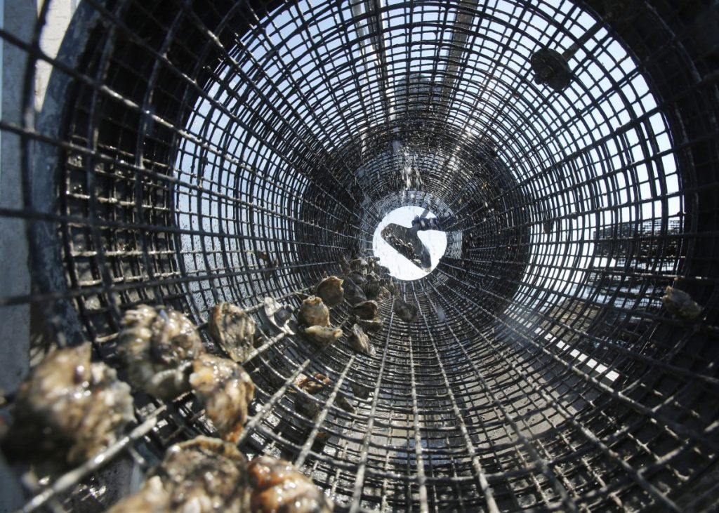 Scientists say the rise of ocean acidification in the Gulf of Maine will affect shell-building species, like these oysters being shoveled into a rinsing cage at Basket Island Oyster in Yarmouth.