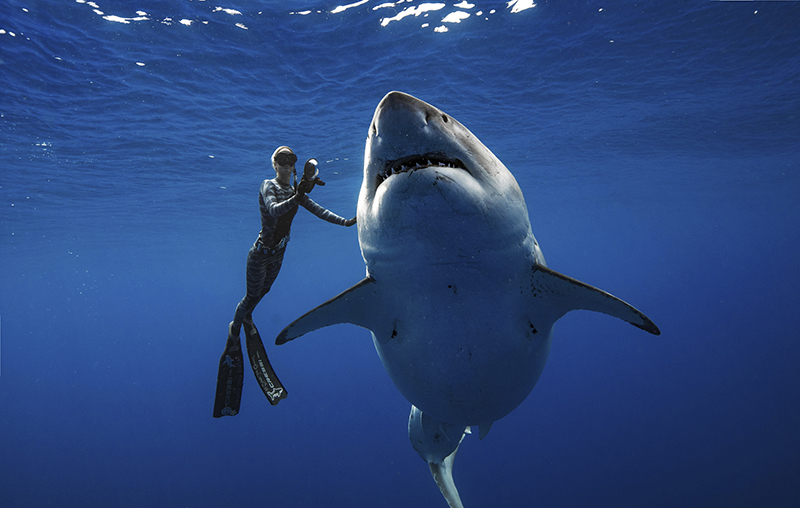 Ocean Ramsey, a shark researcher and advocate, swims with a large great white shark off the shore of Oahu. The two shark researchers came face-to-face with what could be one of the largest great whites ever recorded.