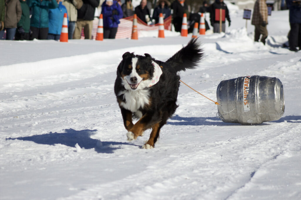 Stella competes Feb. 17 during the Dog Keg Pull at the Fourth annual Rangeley Winterpaloozah!