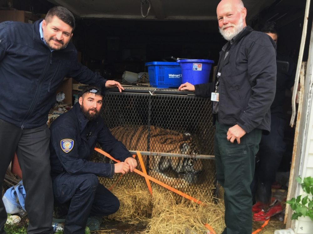This undated photo shows a tiger in Houston. Houston police say some people who went into an abandoned home to smoke marijuana found a caged tiger. They called the city on Monday, Feb. 11, 2019, and the major offender animal cruelty unit and animal shelter volunteers arrived on the scene.