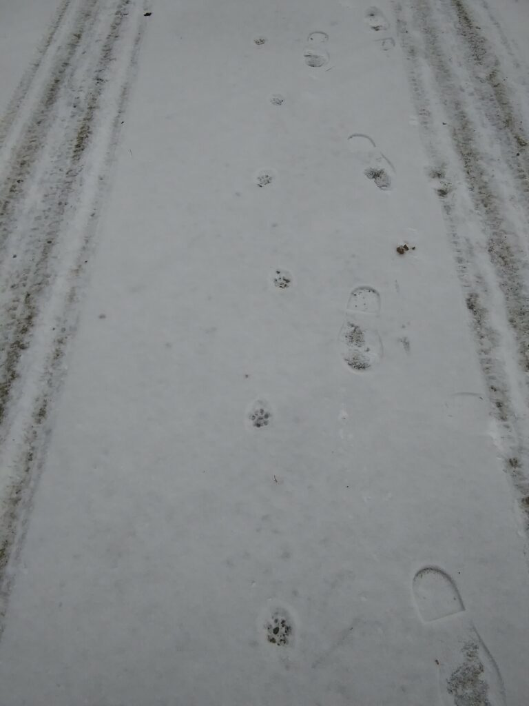 These tracks in powdery February snow probably belong to a bobcat.