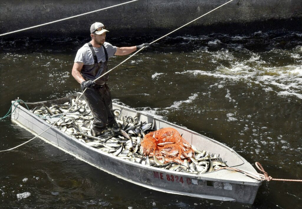 Thomas Keister maneuvers his boat filled with alewives on May 16 to an area on the Sebasticook River in Benton, where workers crate the fish that will be sold for lobster bait by the Springtime Bait company. The town of Benton will consider whether to hold its alewife festival at Town Meeting after canceling it last year.
