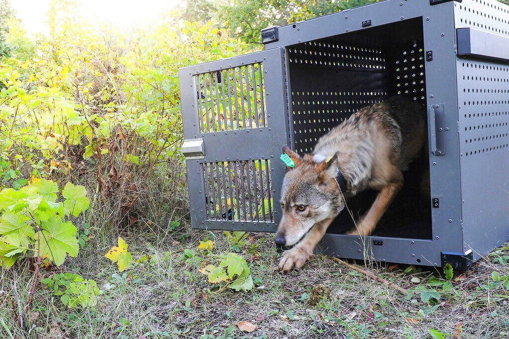 A 4-year-old female gray wolf emerges from her cage as it released at Isle Royale National Park in Michigan on Sept. 26, 2018.