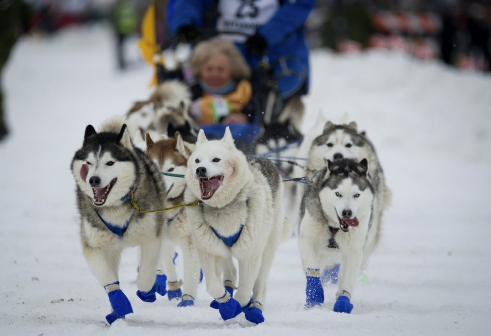 Eagle River, Alaska musher Tom Schonberger's lead dogs trot along Fourth Avenue during the ceremonial start of the Iditarod Trail Sled Dog Race in Anchorage, Alaska on March 3, 2018. The world's foremost sled dog race kicks off its 47th running this weekend on Saturday, March 2, 2019, as organizers and competitors strive to push past a punishing two years for the image of the sport.