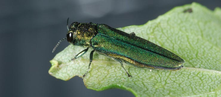 The emerald ash borer continues to spread in Maine, and the state continues to fight it. The bug, which came from Asia, arrived in the U.S. about 20 years ago.