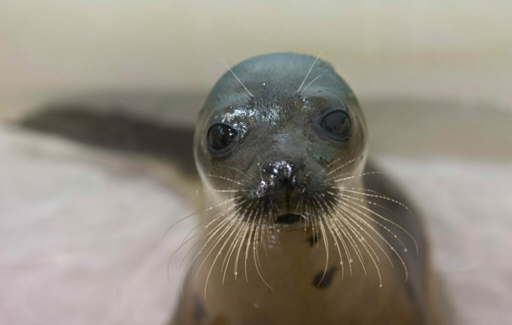 A harp seal rests in a tank at Marine Mammals of Maine rehabilitation facility in Harpswell last month. People encountering seal pups are warned to stay away, as the encounter stresses the animals.
