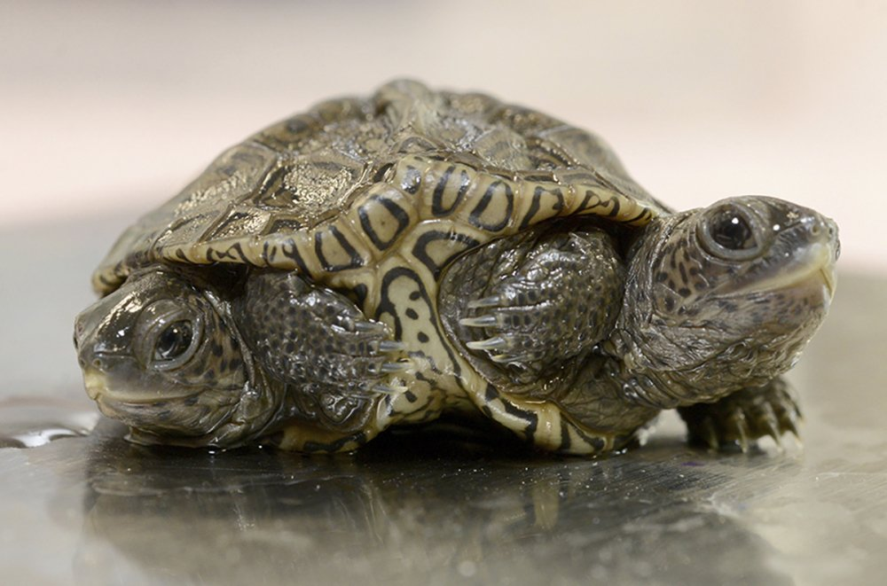 A two-headed diamondback terrapin is weighed at the Birdsey Cape Wildlife Center on Saturday in Barnstable, Mass., where the two-week old animal is being treated. (Steve Heaslip/Cape Cod Times via AP)