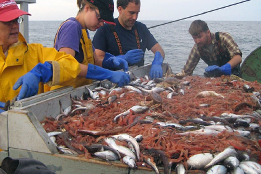 Scientists on a federal research vessel sort shrimp during a Gulf of Maine survey. Data from these types of surveys indicate that longfin squid may have played a significant role in the demise of northern shrimp in Maine.