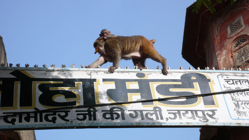 A mother macaque with baby on back walks on top of a street sign during a filming for National Geographic's Nat Geo Wild in Jaipur, India. monkeys stealing theives Jaipur India