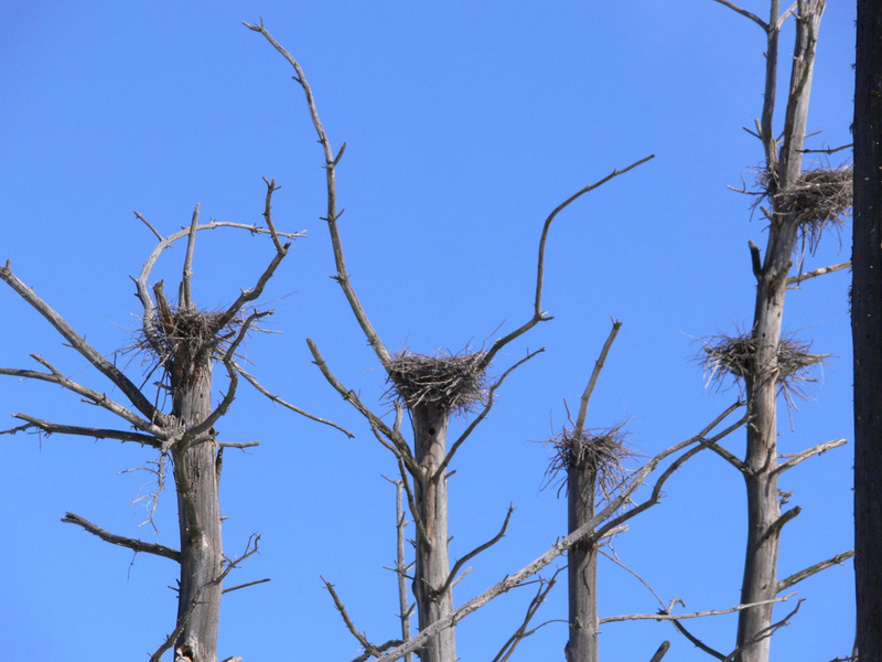 Seen a scene like this? State biologists are seeking observers for the Heron Observation Network, a volunteer group to monitor nesting areas for the great blue heron.