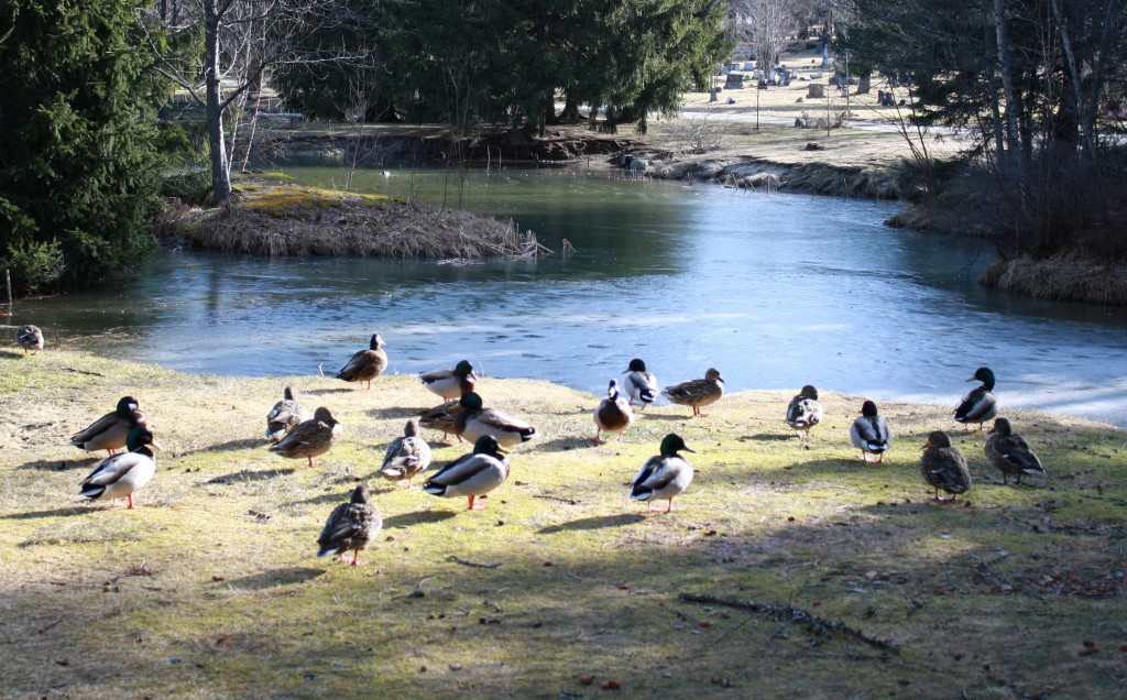 Mallard and American black ducks rest near the pond at Evergreen Cemetery in Portland.