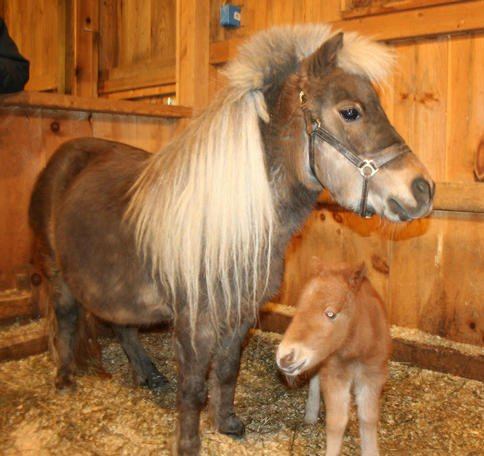 Toffee and her new foal will be greeting people on Maple Sunday at Coopers Farm.