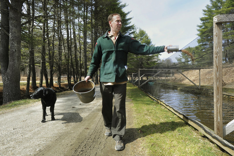 Chad Ridlon, an assistant fish culturist at the state's New Gloucester fish hatchery, has canine company as he tosses food to brown trout in the rearing pens. Stocking brooks and ponds likely will begin earlier than usual this year.