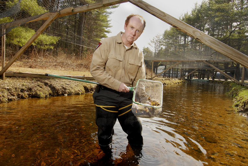 Tim Knedler, a fish culture supervisor at the state's hatchery in New Gloucester, shows off some legal-sized trout soon to be stocked in area ponds and streams. Warmer water has led to faster-growing fish, a good sign for Maine's fishermen this season.