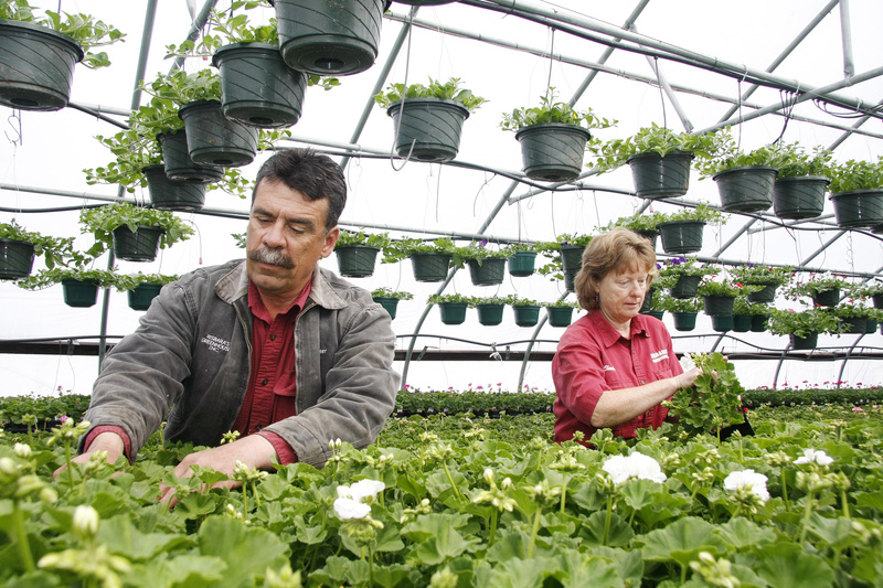 Peter and Claudia Risbara of Risbara's Greenhouse in Portland prune geraniums last week. The Risbaras are celebrating Maine Greenhouse and Nursery Day as well as their 20th anniversary of being in business. Risbara's is just off outer Forest Avenue.