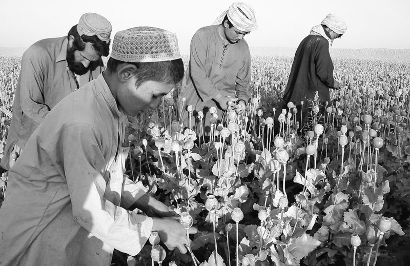 After destroying poppy crops alienated farmers and an alternative-crop program failed in Helmand province of Afghanistan, coalition forces have decided to let the farmers grow and sell their poppy plants and focus efforts instead on stopping drug lords and their shipments.