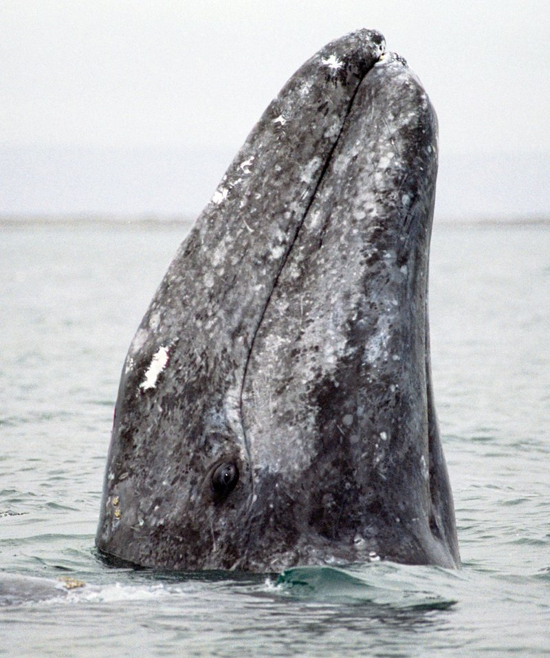 A gray whale surfaces in San Ignacio Lagoon in Baja, Mexico. Hailed as an environmental success story after being taken off the endangered list in 1994, California gray whales draw legions of fans to watch the leviathans lumber down the coast to spawning grounds in Baja.