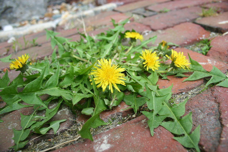 When harvesting dandelion greens, it's best to look for plants, unlike this one, that have yet to bloom.
