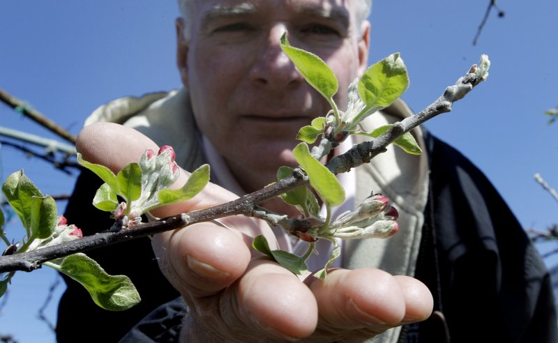 Manager John Burns of Lookout Farm in Natick, Mass., holds a Cortland apple blossom. He said his trees are blooming about 24 days early, leaving time for the region's notoriously unpredictable weather to strike back with a killer freeze.