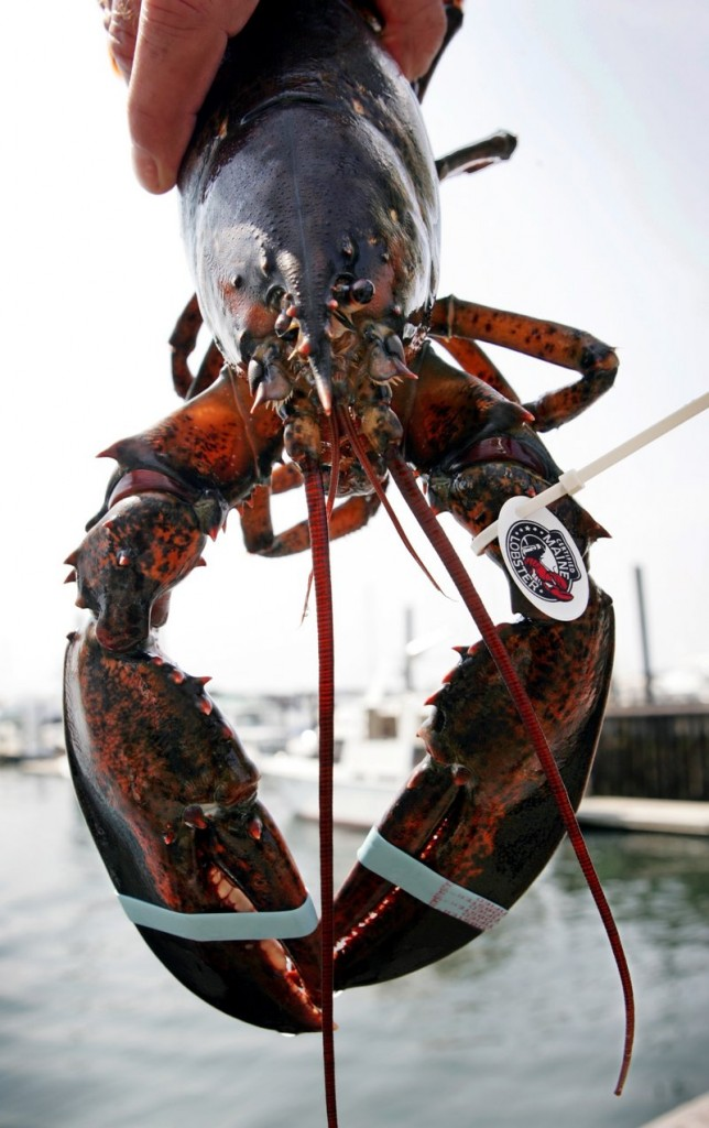 "A lobster with a ""Certified Maine Lobster"" tag is held by a dealer in Portland. A law taking effect on July 1 will allow for an expanded variety of processed lobster products, helping Maine compete with Canadian processors."