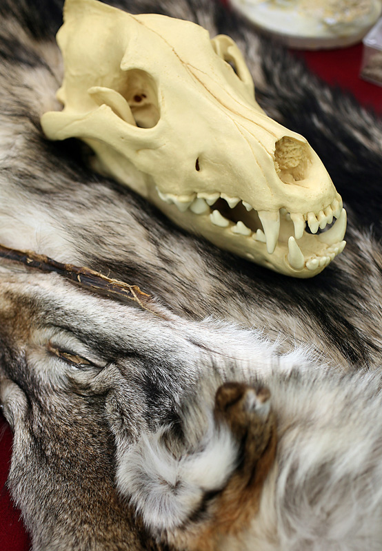 The Loki Clan Wolf Refuge display included wolf skulls such as this one resting on a pelt.