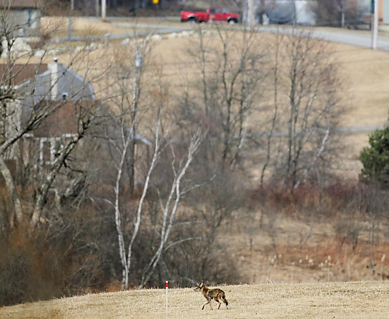 A coyote roams next to a development in Hallowell recently. A Maine conservation biologist working with a national advocacy group says efforts to protect domestic animals from coyotes often have the opposite effect.