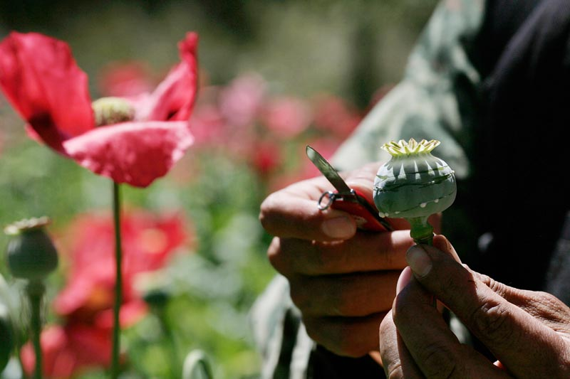 A soldier cuts open an opium poppy during an eradication operation supervised by the Mexican Army on the outskirts of Morelia, Mexico, in March. Mexican drug smugglers are increasingly peddling a form of ultra-potent heroin that sells for as little as $10 a bag and is so pure it can kill unsuspecting users instantly, sometimes before they even remove the syringe from their vein.
