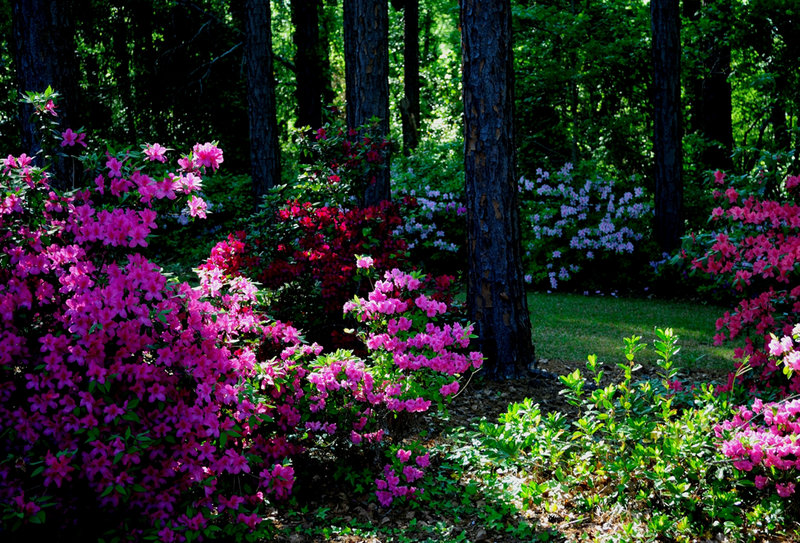 Azaleas are indeed rhododendrons and will add weeks of great color in woodland settings.