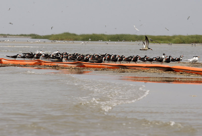 Royal terns sit near an oil boom on Breton Island off Louisiana on Monday. The massive oil leak in the Gulf of Mexico is expected to slow freighter shipments and raise some prices.