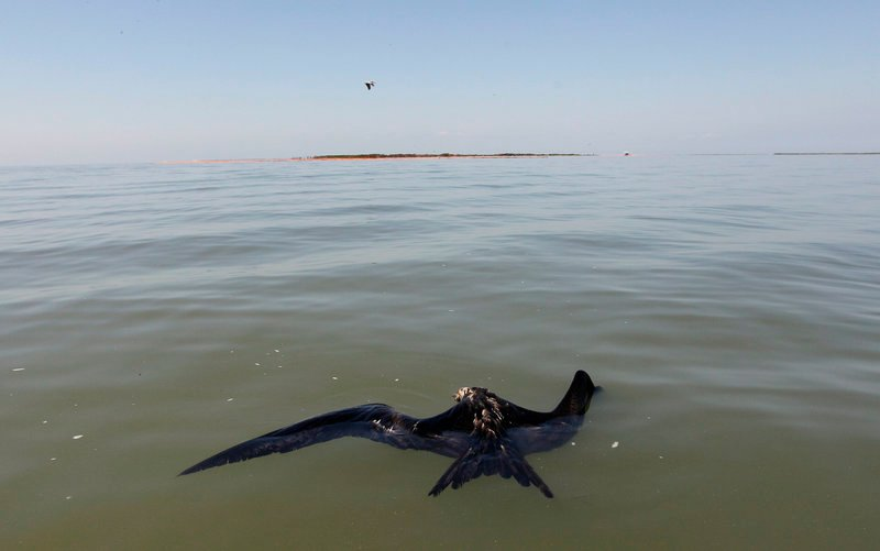 A dead bird with a light sheen of oil on it floats in the water Tuesday in Chandeleur Sound, La. Cleanup and containment of a massive oil slick resumed as winds eased in the Gulf of Mexico and people along beaches and bayous waited to find out just how badly it might damage the delicate coast. It is not known how the bird died.