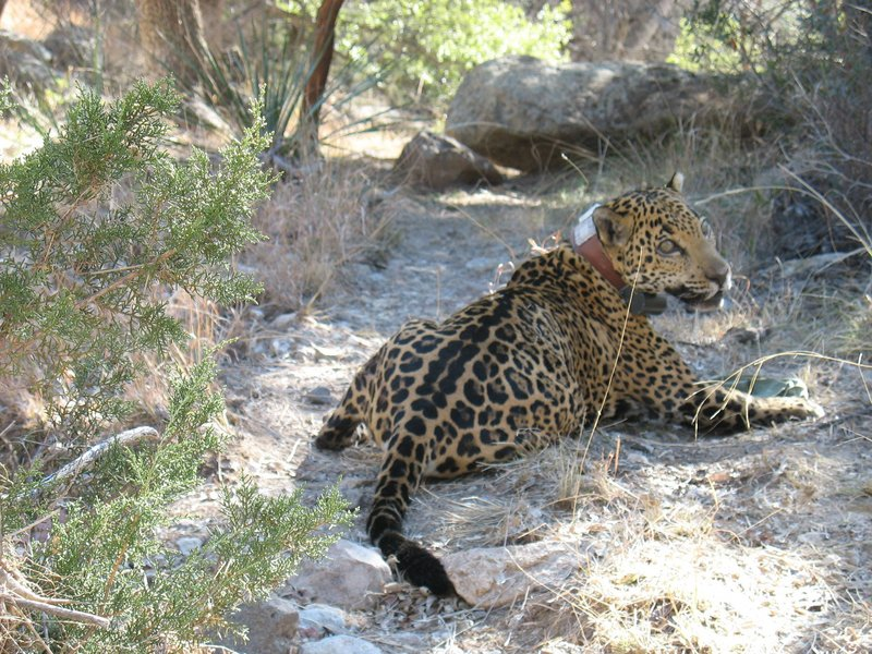 An Arizona Game and Fish Department photo shows a collared jaguar nicknamed Macho B. Emil McCain, a southern Arizona biologist, pleaded guilty Friday to a misdemeanor federal charge for the rare big cat's trapping and death.