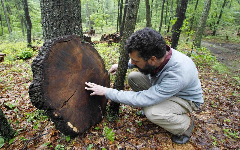 Brian Donahue, associate professor of American Environmental Studies at Brandeis University, examines an oak tree on protected conservation land in Weston, Mass. He is co-author of a report that says New England forest cover is declining.