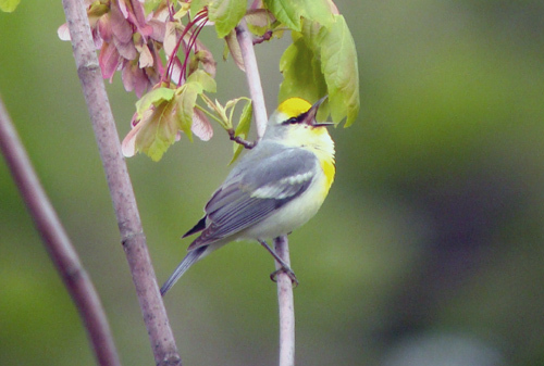 A Brewster's warbler recently spotted in Saco. The Brewster's warbler is the product of a first-generation cross between a blue-wing and a golden-wing.