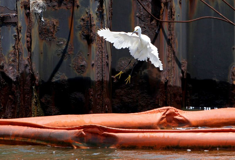 An egret lands on boom at Bayou Caddy in Hancock County, Miss., on Thursday as efforts continue to contain the oil spill in the Gulf of Mexico. With hurricane season starting Tuesday, some fear damaging winds and large waves will push oil deeper into estuaries and wetlands.
