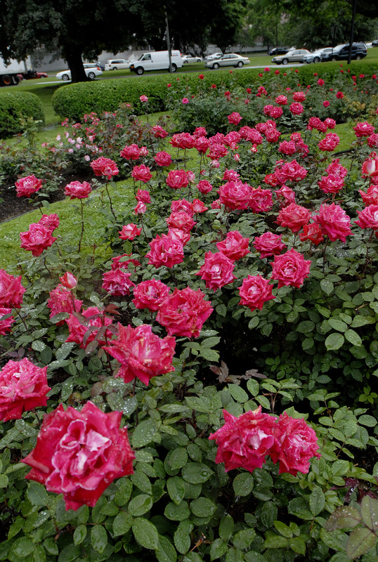 Roses are in full bloom at the Karl Switzer Rose Circle at Deering Oaks recently. City officials are hoping a partnership with community organizations might provide volunteer gardening services, as well as docents who would conduct tours for the public.