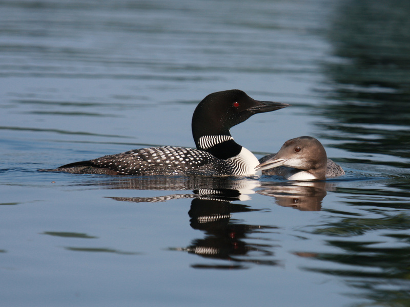 """""""Proud Parent,"""" captured on Little Sebago Lake by Marie Shelden, took """"Judge's Honorable Mention"""" in the 2009 Maine Loon Project Photo Contest. Little Sebago typically has the most loons of any lake in the Lakes Region."""