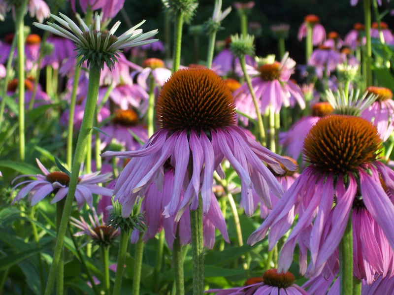 Coneflowers share the same distinctive architecture as other members of the daisy family.