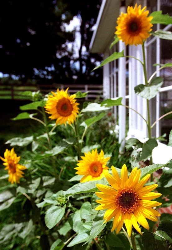 Sunflowers are among an array of flowers that can take your garden to new heights. John Ewing