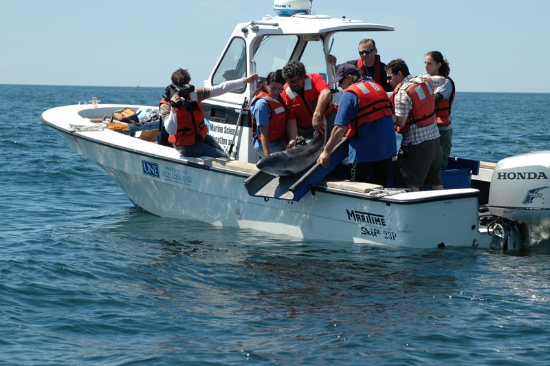 Staffers of the University of New England Marine Science Center and Marine Animal Rehabilitation Center in Biddeford release porpoise No. 12 about two miles off the coast this morning.