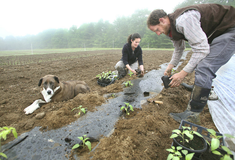 Julia Davis and Andy McLeod plant tomato seedlings as Gabbie supervises.