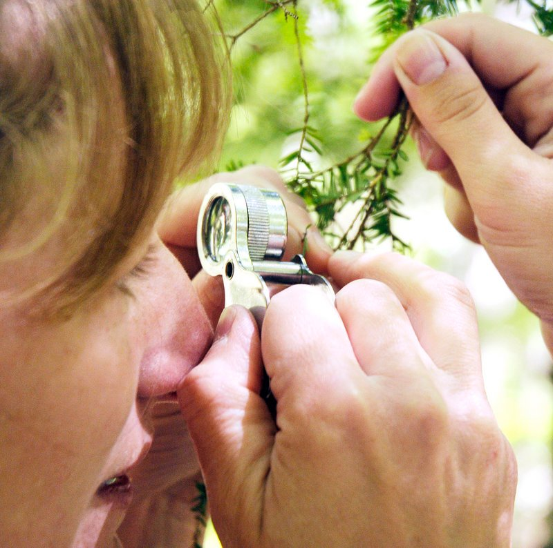 Allison Kanoti, a forest entomologist, uses a magnifying glass to examine a hemlock woolly adelgid on a branch held by intern Amanda Sawyer. Hemlock woolly adelgids are small, white bugs that feed off hemlock tree sap. Sawyer found the invasive bug while checking the undersides of hemlock branches in Harpswell.