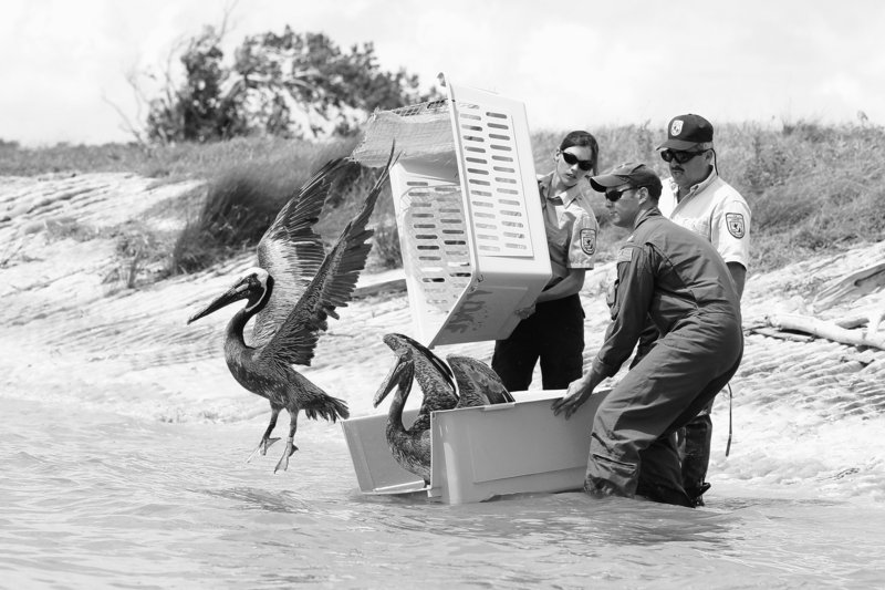 Pelicans are freed Wednesday at the Aransas National Wildlife Refuge in Texas after being rehabilitated from the Deepwater Horizon oil spill. The release of 62 brown pelicans was the largest since the rig exploded April 20, killing 11 workers. Advisories against swimming and fishing in the once-pristine waters were extended for 33 miles east of Alabama.