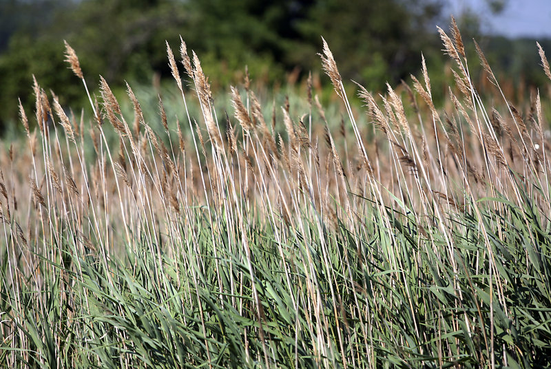 Phragmites australis, also known as common reed, can be seen along Route 1 near the Scarborough Marsh. A GPS survey July 18 will help map the invasive species.