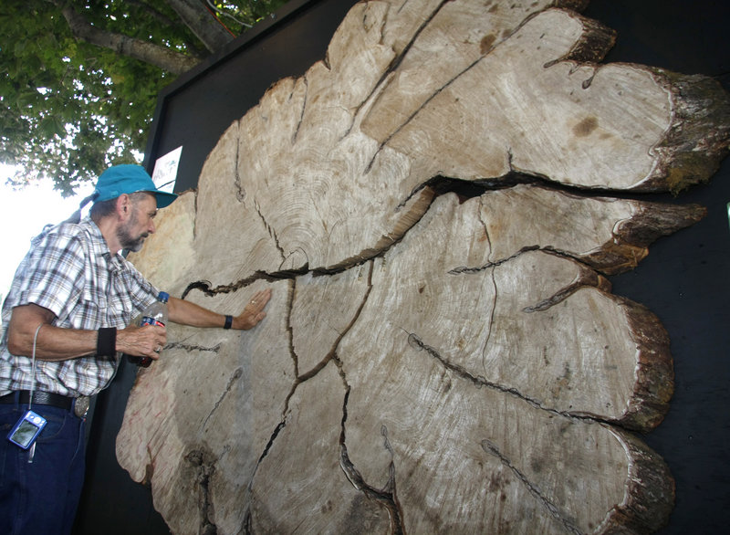 Mike Farrell of Whitefield feels a giant slab from Herbie, the Yarmouth elm tree that was cut down in January.