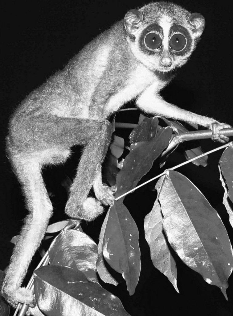 Researchers in a central Sri Lankan forest have photographed the Horton Plains slender loris,, feared extinct for more than 60 years, the Zoological Society of London said Monday.