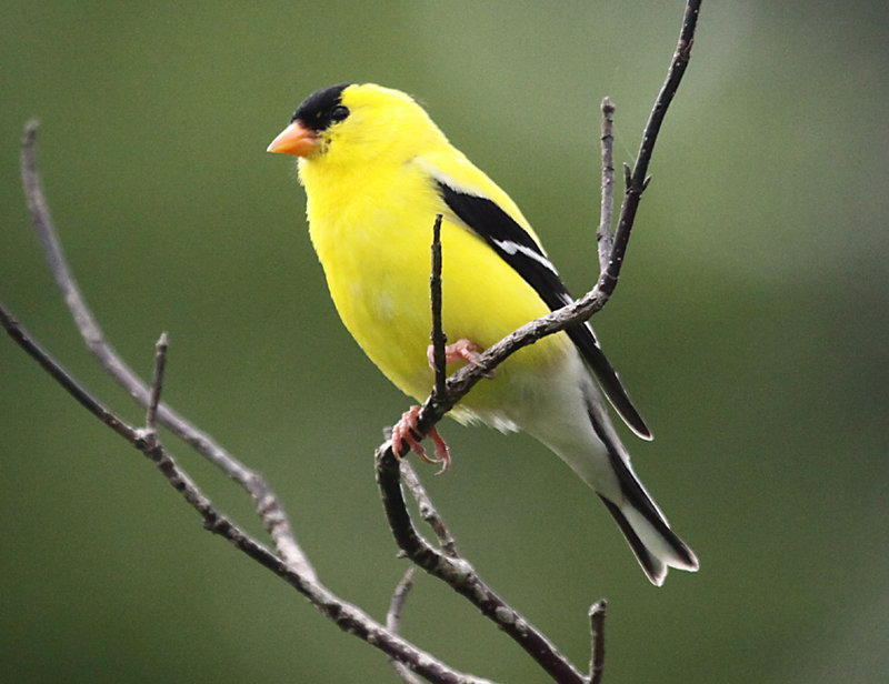 This male goldfinch was spotted at Capisic Park in Portland by David L. White.